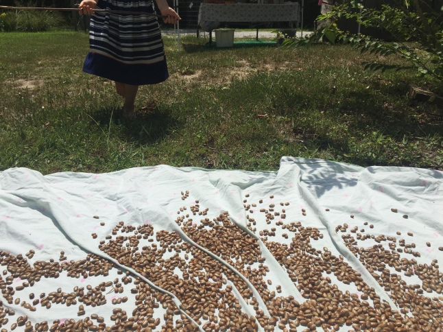 Shucked beans spread to dry further in the sun.
